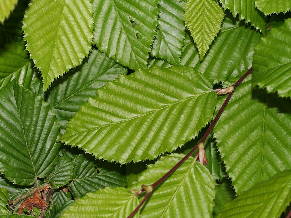 lei Carpinus betulus