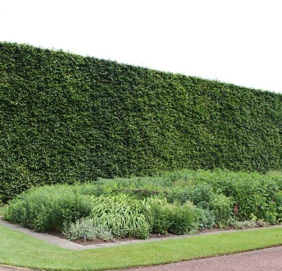 Haagbeuk (Carpinus Betulus) haag