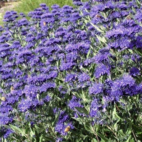 caryopteris clandonensis 39 heavenly blue 39 kopen. Black Bedroom Furniture Sets. Home Design Ideas