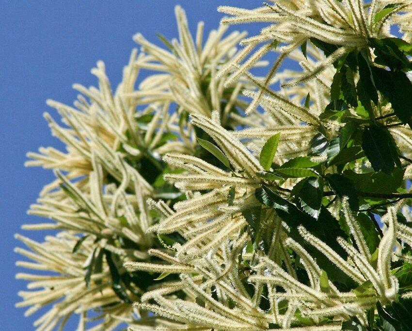 Castanea sativa bloemen