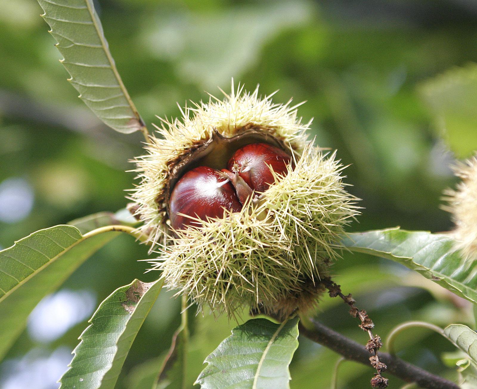 vruchten van de castanea sativa