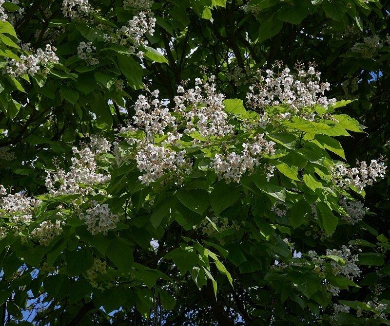 Catalpa bignonioides 'Aurea' bloemen