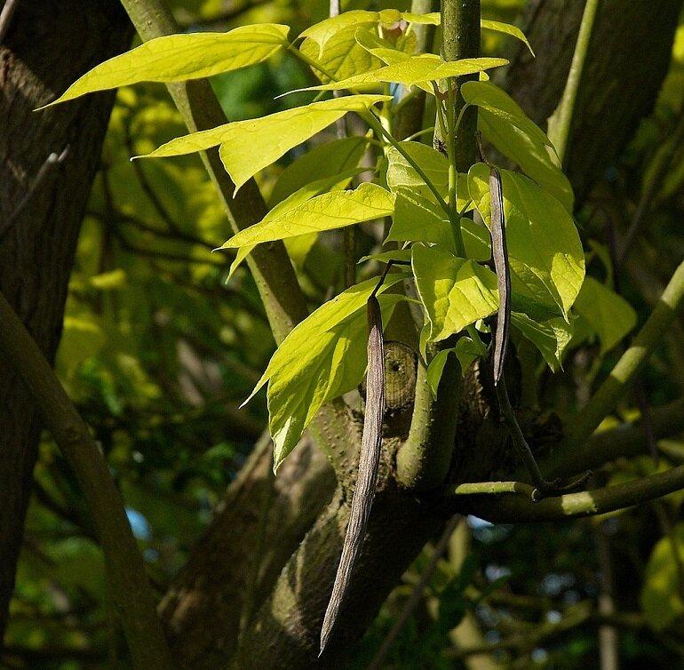 Catalpa bignonioides 'Aurea' peulvruchten