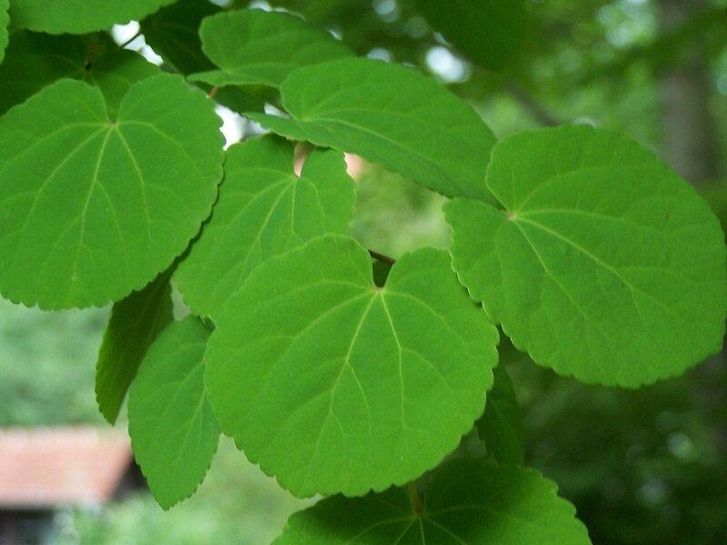 Cercidiphyllum japonicum blad in zomer