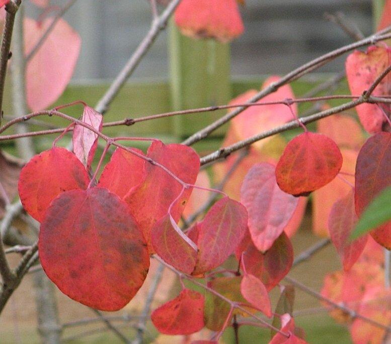 Cercidiphyllum japonicum herfstkleur