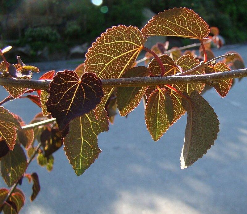 Cercidiphyllum japonicum jong blad