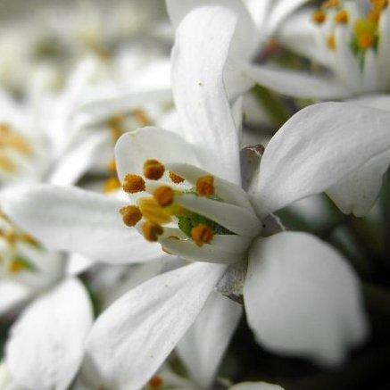 Choisya ternata 'White Dazzler' ®