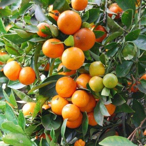 Citrus calamondin (sinaasappel)