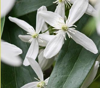 Clematis wit groenblijvend