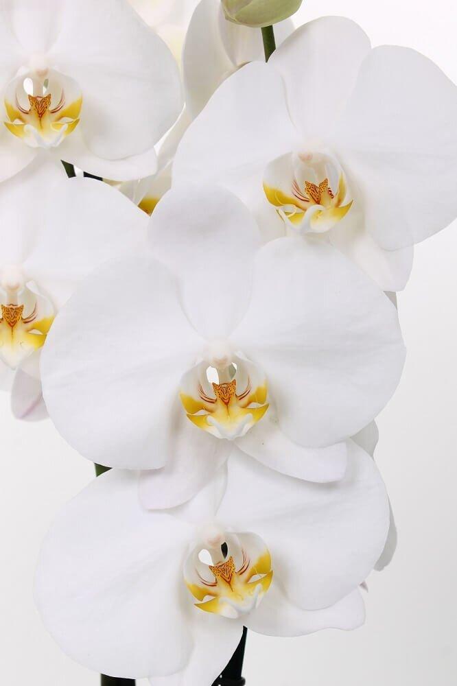 Bloemen orchidee 'Dame Blanche' (Phalaenopsis Midiflora)