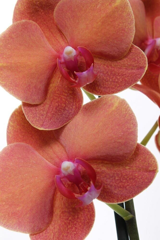 Close-up bloemen orchidee 'Surf Song'