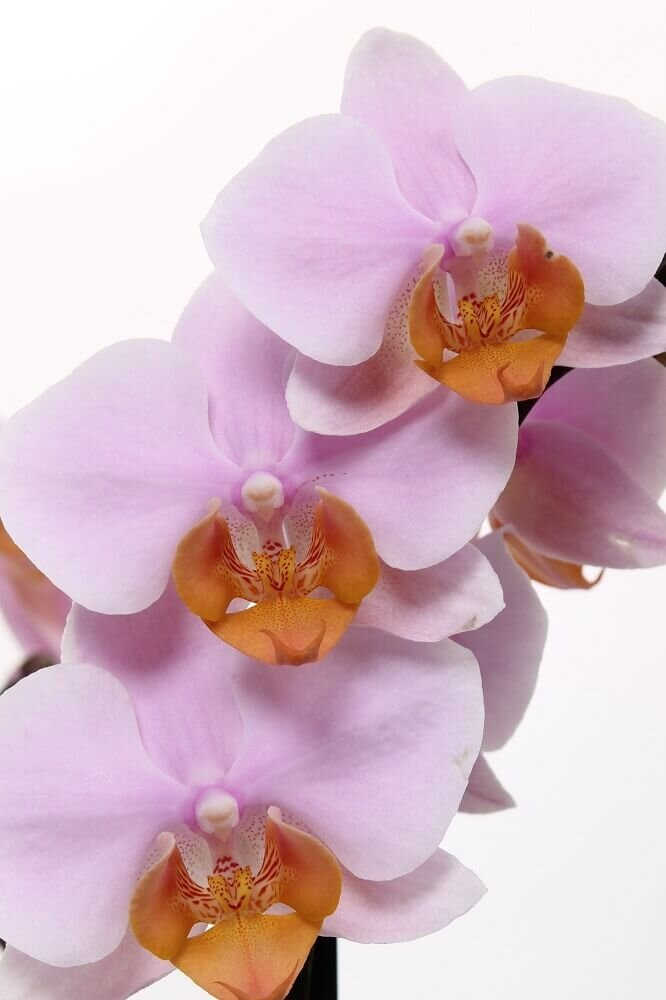 Close-up bloemen orchidee 'Tulcan'