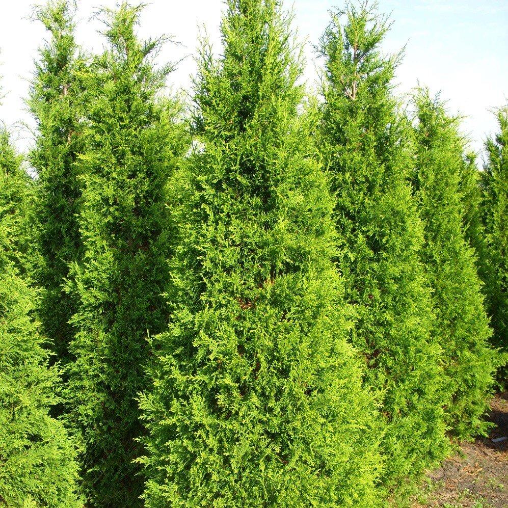 Coniferenhaag Lawsoniana 'Ilona' (Chamaecyparis lawsoniana 'Ilona')