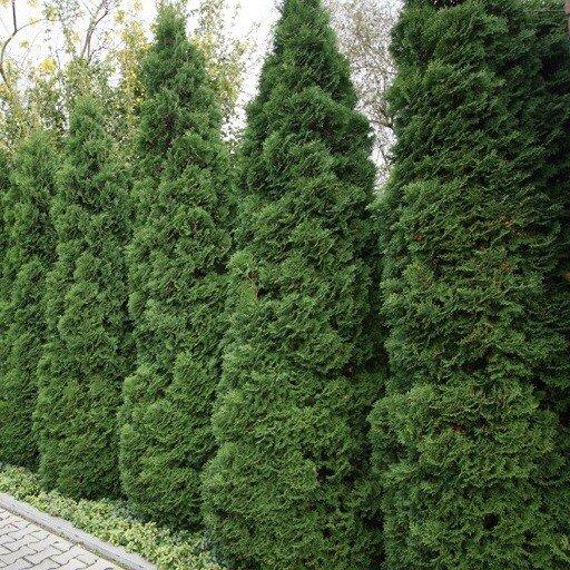 Thuja occidentalis 39 holmstrup 39 kopen for Gartengestaltung thuja