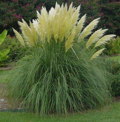 Cortaderia selloana 'Alba' (pampasgras)