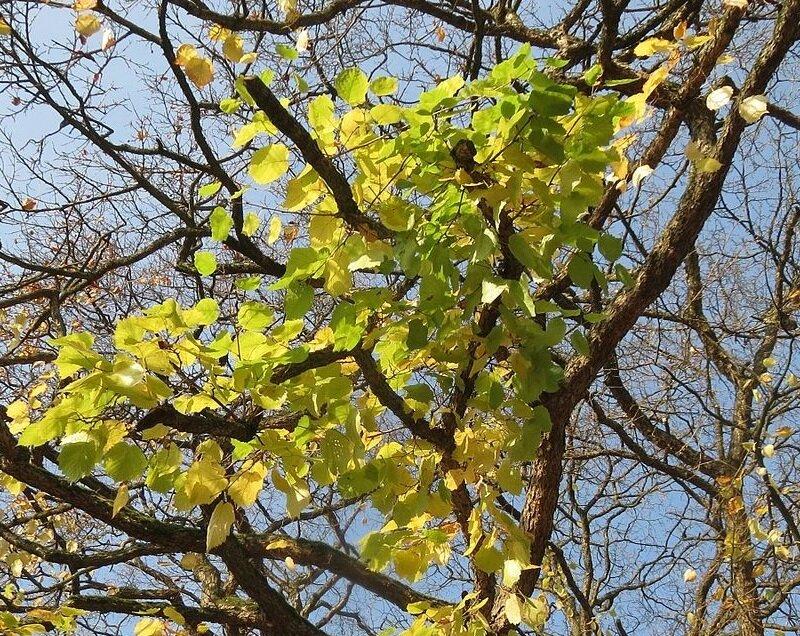 Corylus colurna herfstkleur
