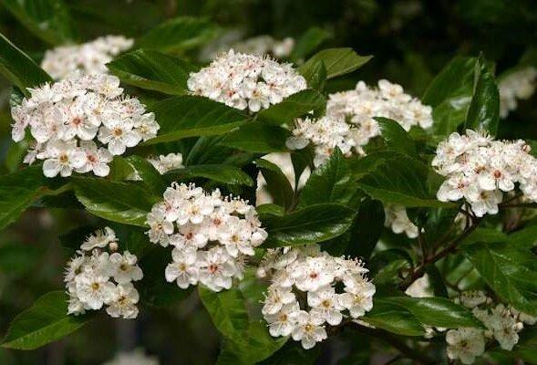 Crataegus lavalleei 'Carrierei' bloemen