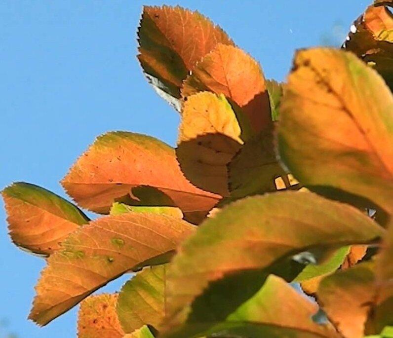 Crataegus lavalleei 'Carrierei' herfstkleur