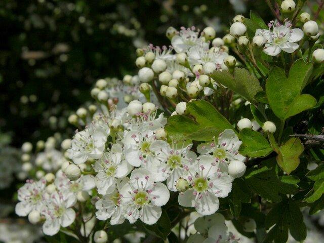 bloemen van de crataegus monogyna