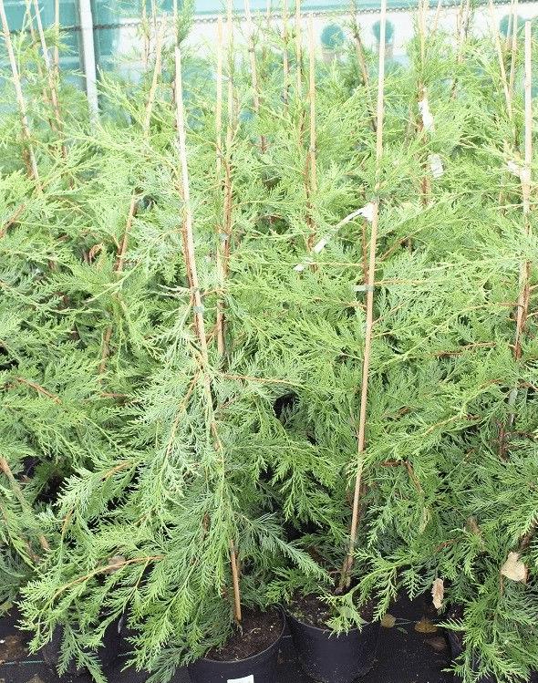 Cupressocyparis leylandii kwekerij