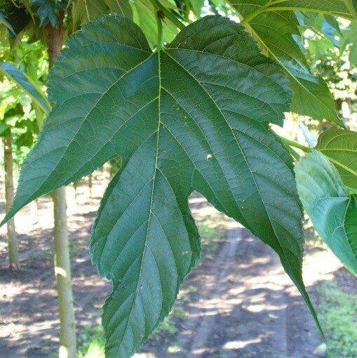 Morus alba 'Macrophylla' blad