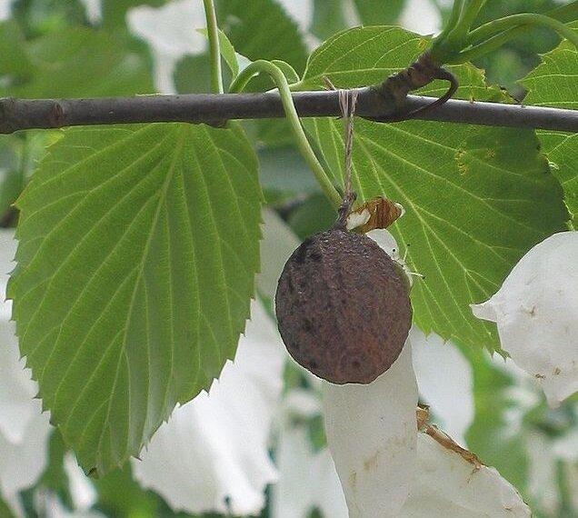 Davidia involucrata vrucht
