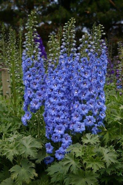 Delphinium 'Blue Bird' (ridderspoor)