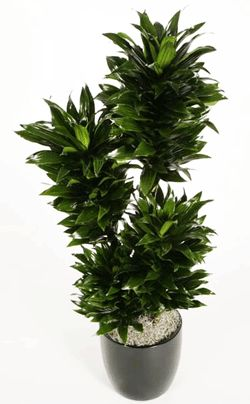 Dracaena deremensis 'Janet Craig Compacta'