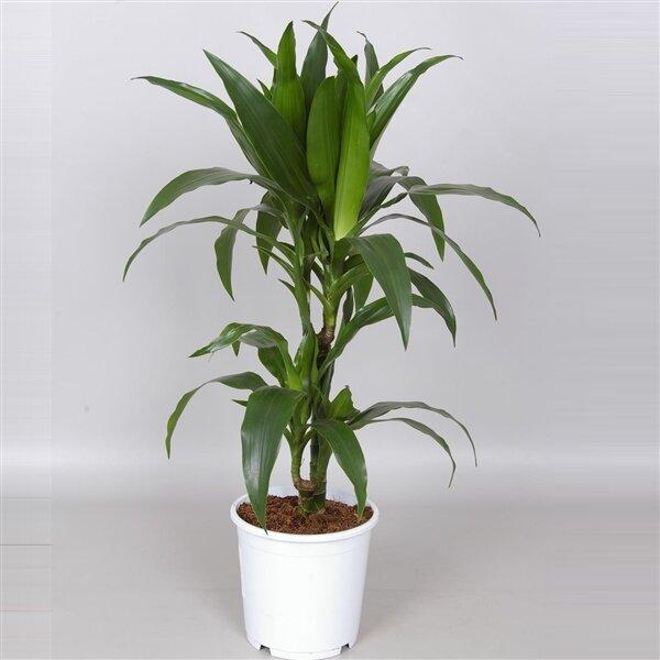 Dracaena deremensis 'Janet Craig' 2-stammig