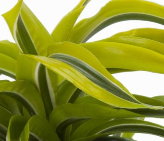 Dracaena deremensis 'Lemon Lime'