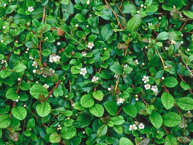 Cotoneaster dammeri / dwergmispel