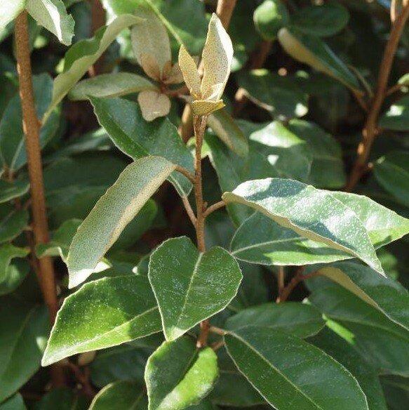 Olijfwilghaag (Elaeagnus ebbingei)
