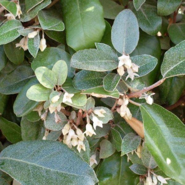 Olijfwilghaag (Elaeagnus ebbingei) bloemen