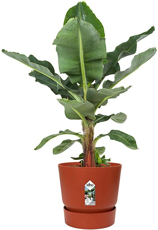 Elho greenville rond terracotta met bananenplant