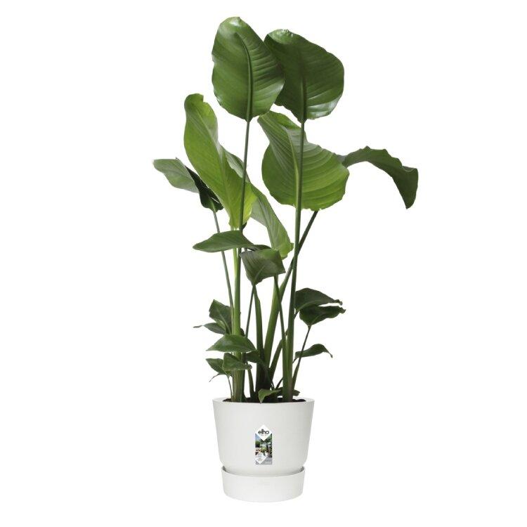Elho greenville rond wit met Strelitzia nicolai