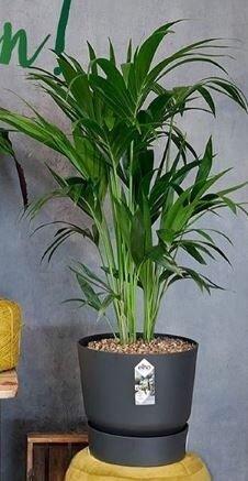 Elho greenville rond zwart met kentia kamerplant