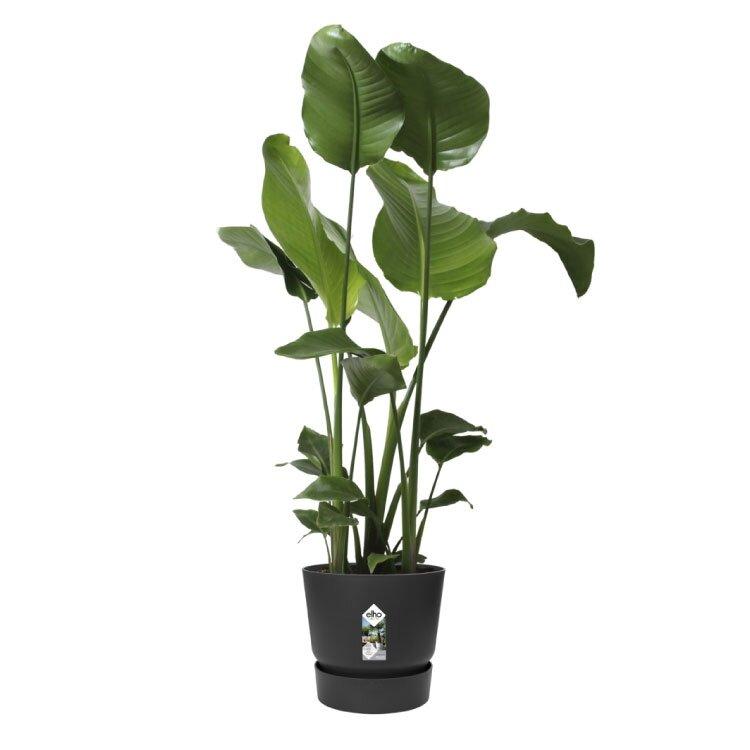 Elho greenville rond zwart met Strelitzia nicolai