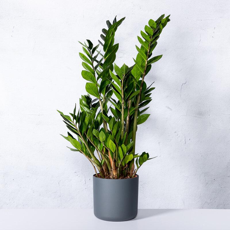 Zamioculcas kopen - Puceron blanc plante verte ...