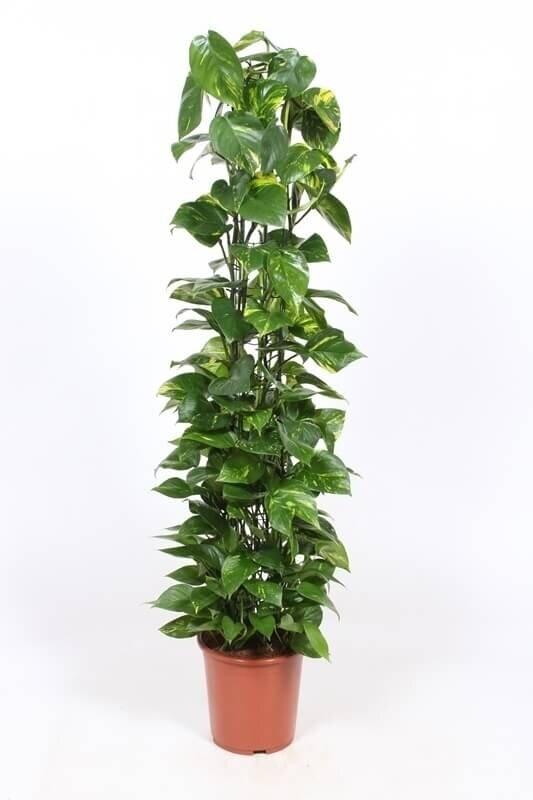 Epipremnum 'Aureum' 100-125 cm