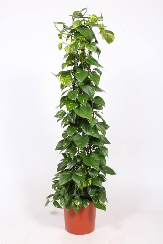 Epipremnum 'Aureum' 125-150 cm