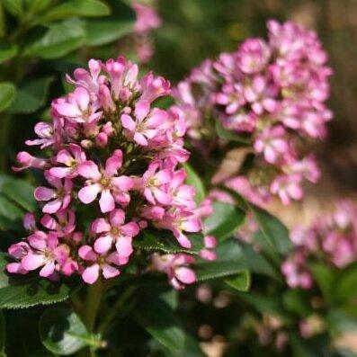 Escallonia 'Pink Elle' ®