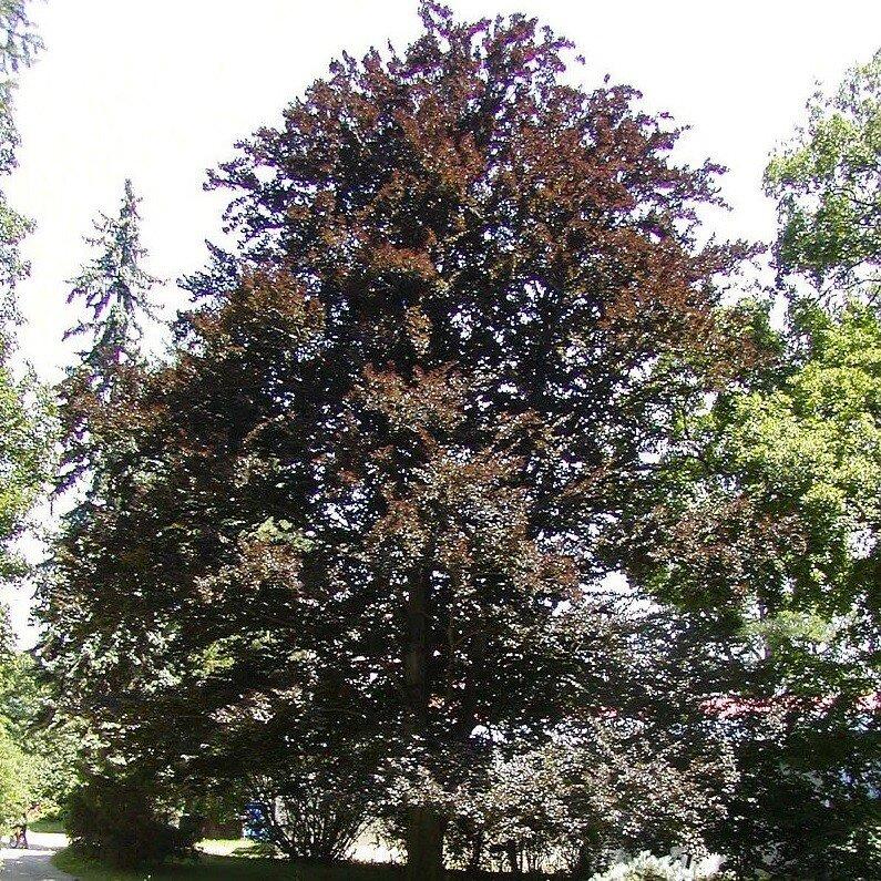 Fagus sylvatica 'Atropunicea'
