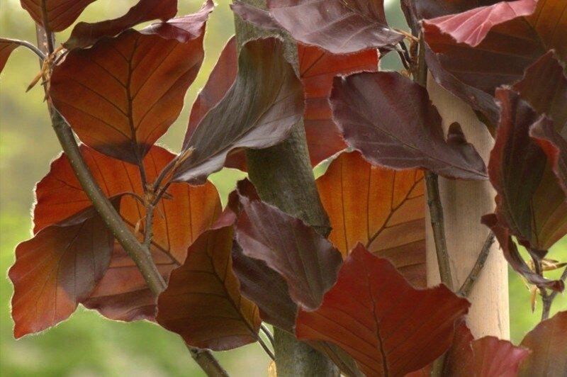 Fagus sylvatica 'Atropunicea' blad