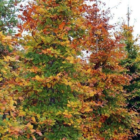 Fagus sylvatica herfstverkleuring