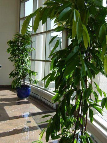 Ficus 'Amstel King' op kantoor