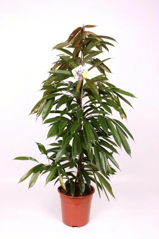 Ficus 'Amstel King'