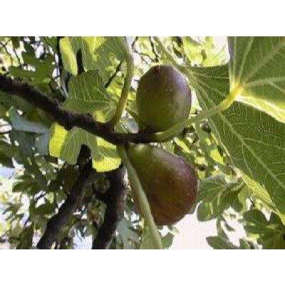 Ficus carcia (op stam)
