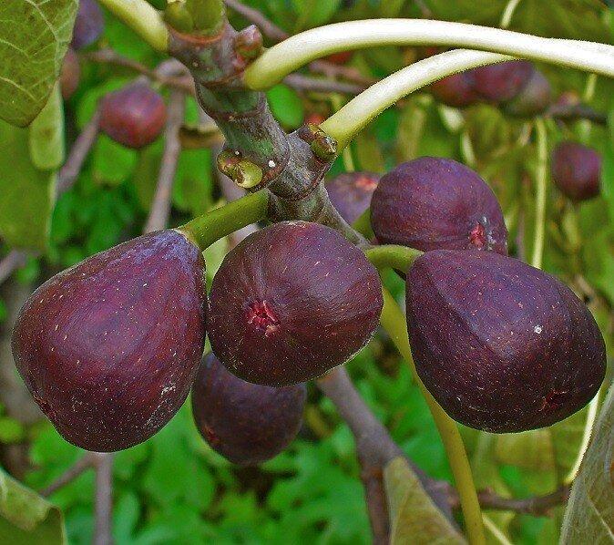 Ficus carcia (op stam) vruchten