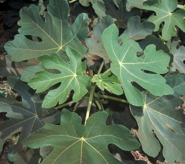 Vijgenboompje - Ficus carica