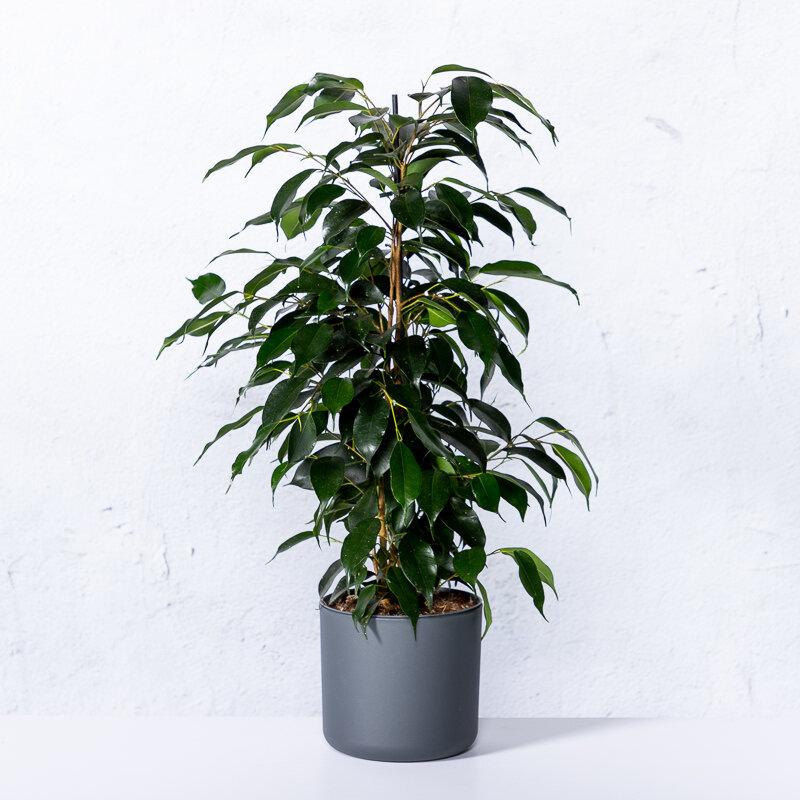 Ficus 'Danielle' maat 40 - 60 cm